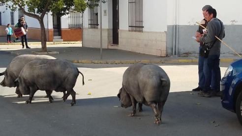 2017_cochinos-por-las-calles-de-Trigueros